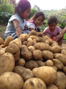 Potato harvest in the community garden